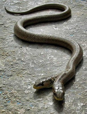 Crazy-snake1