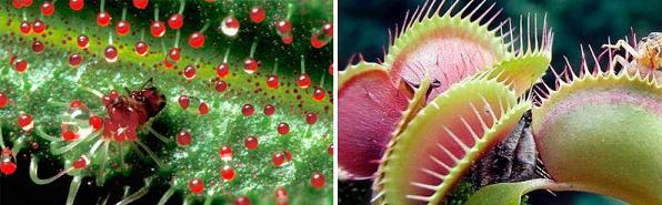 Carnivorous_plant